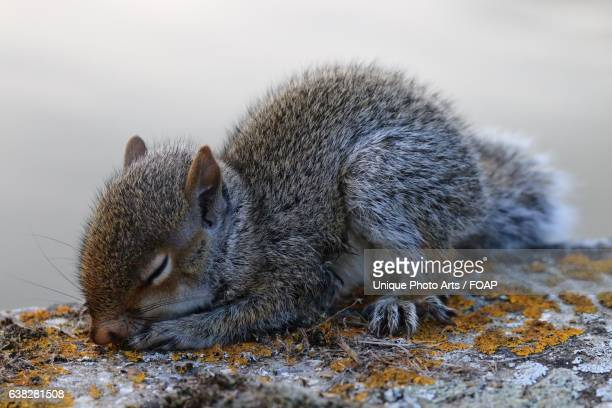 sleeping grey squirrel - gray squirrel stock pictures, royalty-free photos & images