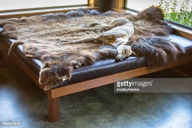 sleeping greyhound dog lying down on animal skin - animal skin rug stock pictures, royalty-free photos & images