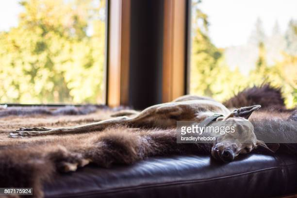 sleeping greyhound dog lying down on animal skin - bearskin rug imagens e fotografias de stock