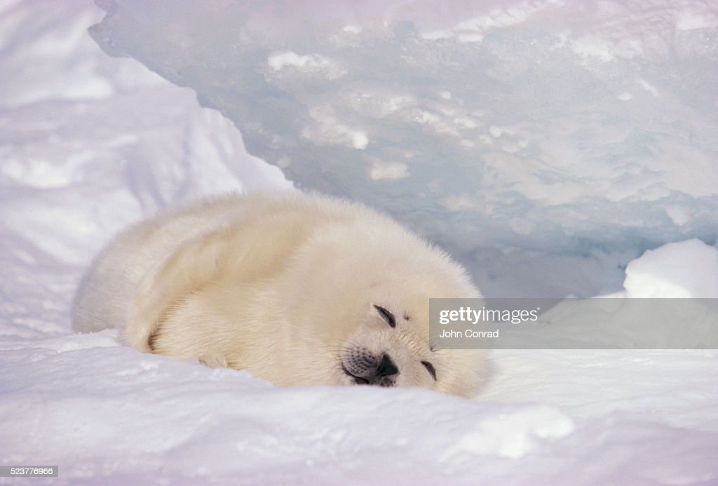 Sleeping Harp Seal Pup : Stock Photo