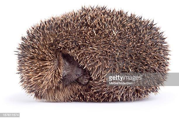 sleeping hedgehog - hibernation stock pictures, royalty-free photos & images