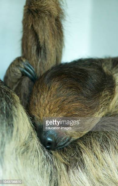 Sleeping Hoffmanns two toed Sloth Choloepus hoffmanni.