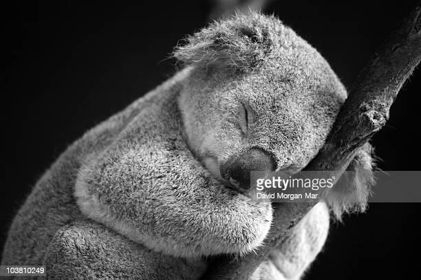 sleeping koala  - koala photos et images de collection