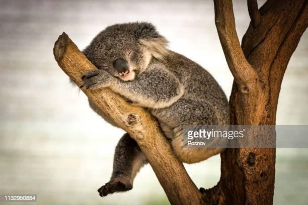 sleeping koala - koala stock pictures, royalty-free photos & images