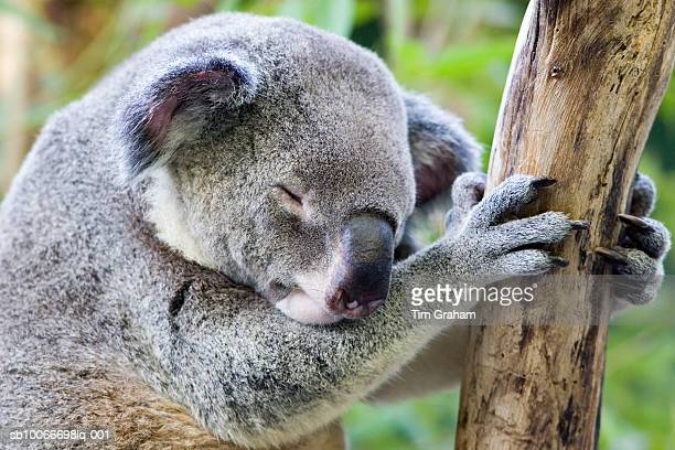 Sleeping Koala, Queensland, Australia