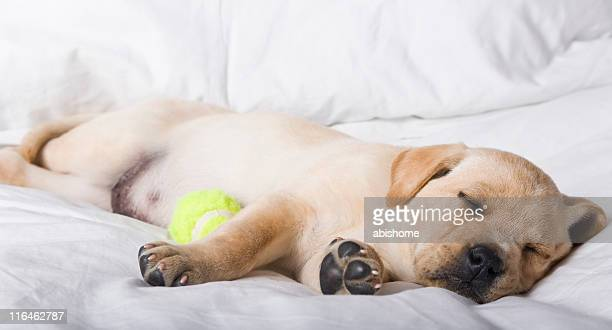 Sleeping Labrador lies with chewed tennis ball toy