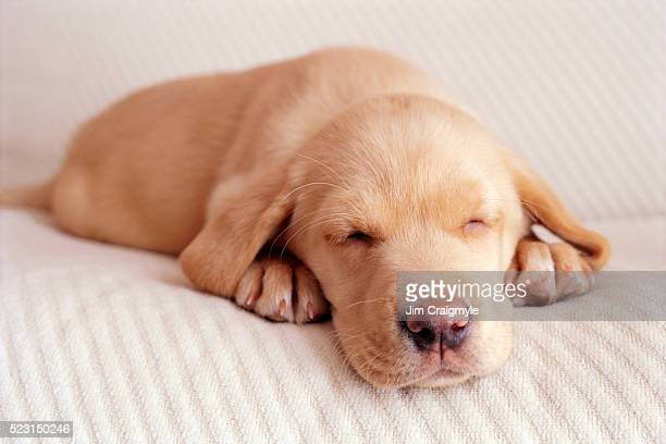 sleeping labrador puppy - jim craigmyle stock pictures, royalty-free photos & images