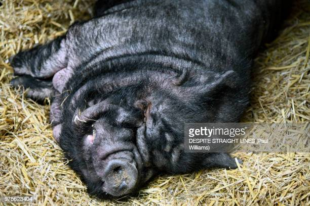 sleeping large black pig (also known as devon, cornwall black or boggu) - river medway stock photos and pictures