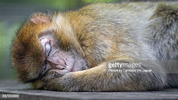 Sleeping macaque