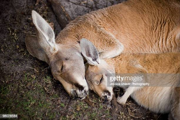 sleeping mother and child kangaroos - marsupial imagens e fotografias de stock