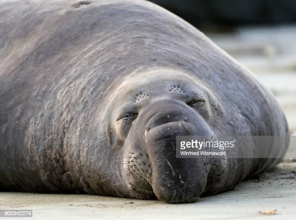 Sleeping Northern Elephant Seal (Mirounga angustirostris), sleeping on the beach of San Simeon, Piedras Blancas Colony, California, USA