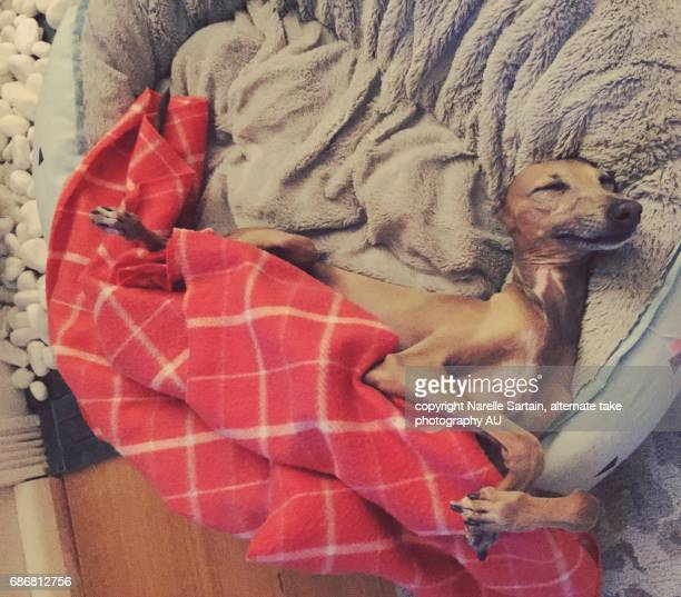 sleeping or resting italian greyhound - greyhound stock photos and pictures