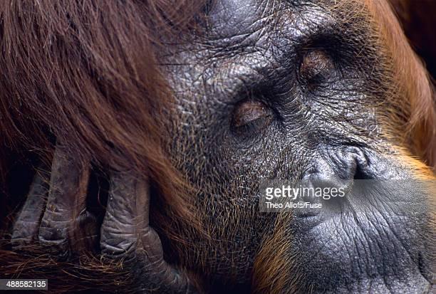 sleeping orang-utan female, borneo, tanjung puting national park - public domain imagens e fotografias de stock