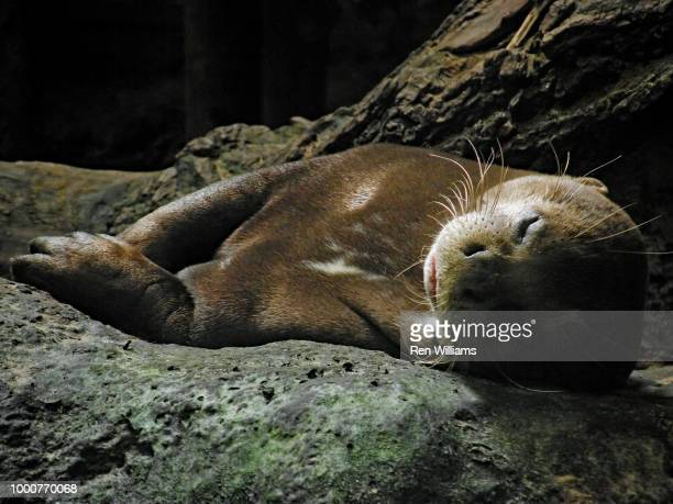 sleeping otter - giant otter stock pictures, royalty-free photos & images