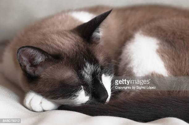 sleeping - black siamese cat stock pictures, royalty-free photos & images