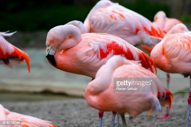 Sleeping pink flamingos (phoenicopterus)