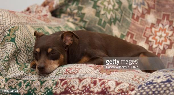 sleeping pinscher on bed - dobermann stock-fotos und bilder