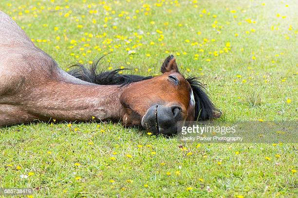Sleeping Pony