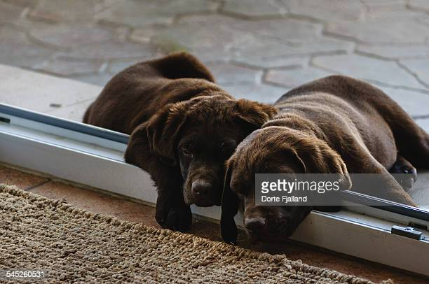 sleeping puppies - dorte fjalland stock pictures, royalty-free photos & images