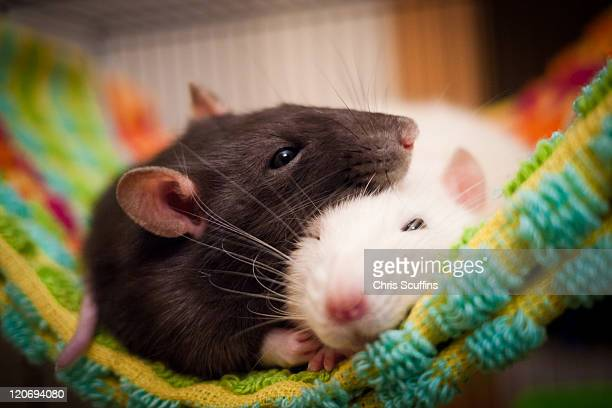 sleeping rats - rat stock pictures, royalty-free photos & images