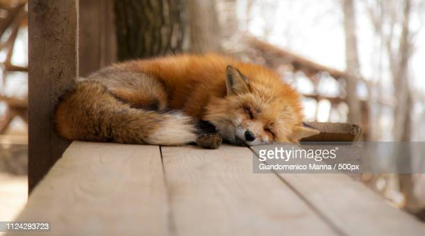 sleeping red fox - fox stock pictures, royalty-free photos & images