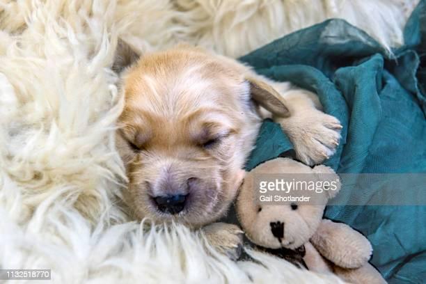Sleeping Retriever Puppy