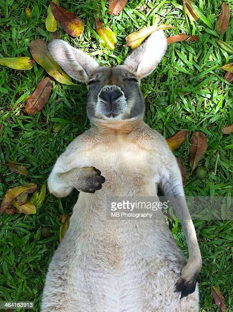 sleeping roo - kangaroo stock pictures, royalty-free photos & images