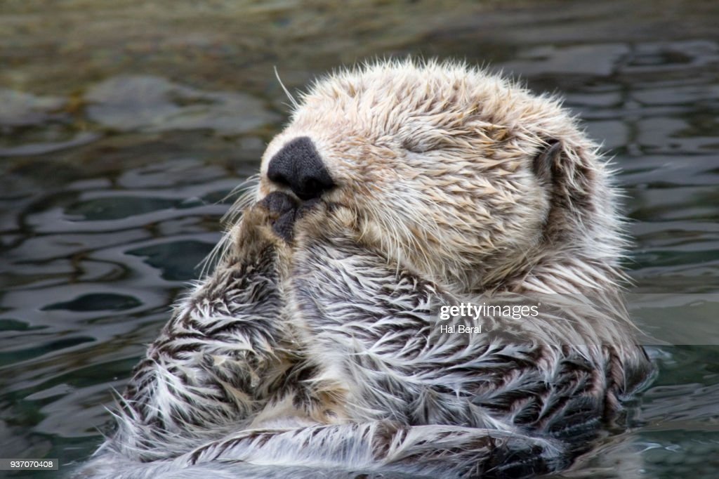 Sleeping Sea Otter close-up : Stock Photo