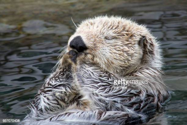 sleeping sea otter close-up - sea otter stock photos and pictures