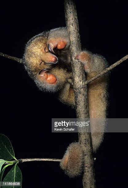 sleeping silky anteater, aka pygmy anteater. cyclopes didactylus. in mangroves, caronii swamp, trinidad, west indies - silky anteater stock pictures, royalty-free photos & images