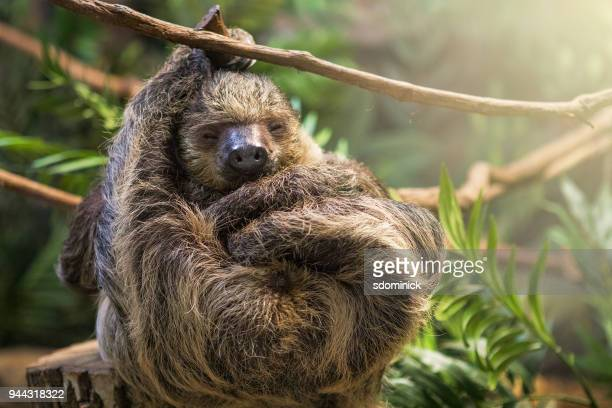 sleeping sloth - laziness stock pictures, royalty-free photos & images
