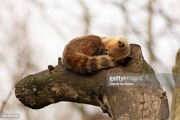 sleeping southern ring-tailed coati - coati stock pictures, royalty-free photos & images