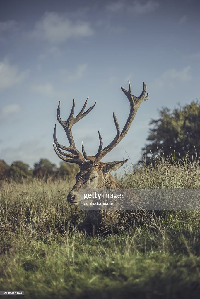 Sleeping stag : Stock Photo