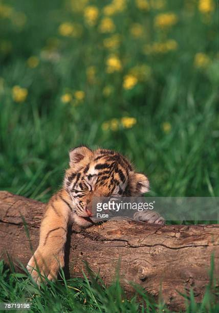 sleeping tiger cub - tiger cub stock photos and pictures