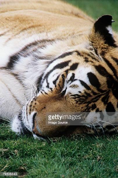 sleeping tiger - human face foto e immagini stock