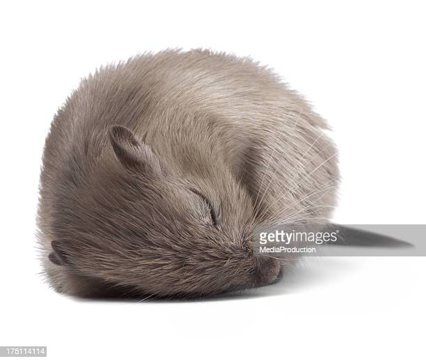 マウスの寝室 - 冬眠 ストックフォトと画像