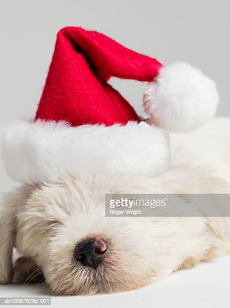 Sleeping West Highland Terrier puppy wearing santa hat, close up