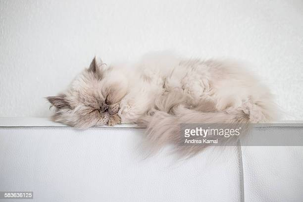 Sleeping white Persian cat