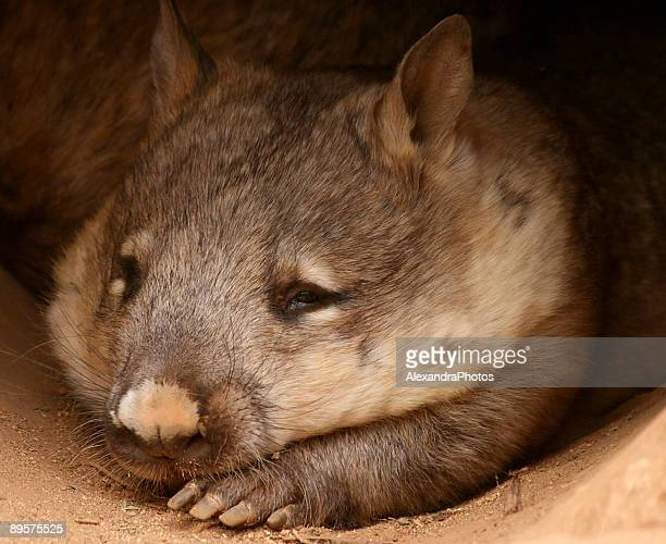 sleeping wombat - wombat stock pictures, royalty-free photos & images