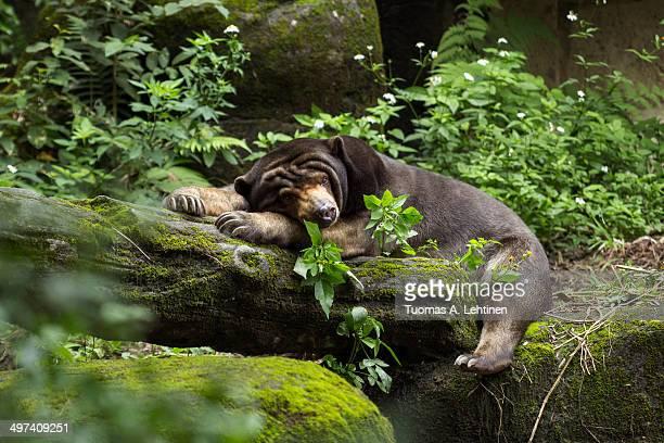 Sleepy Asian black bear lying on a log