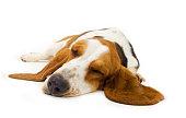 Sleepy basset hound laying on a white surface