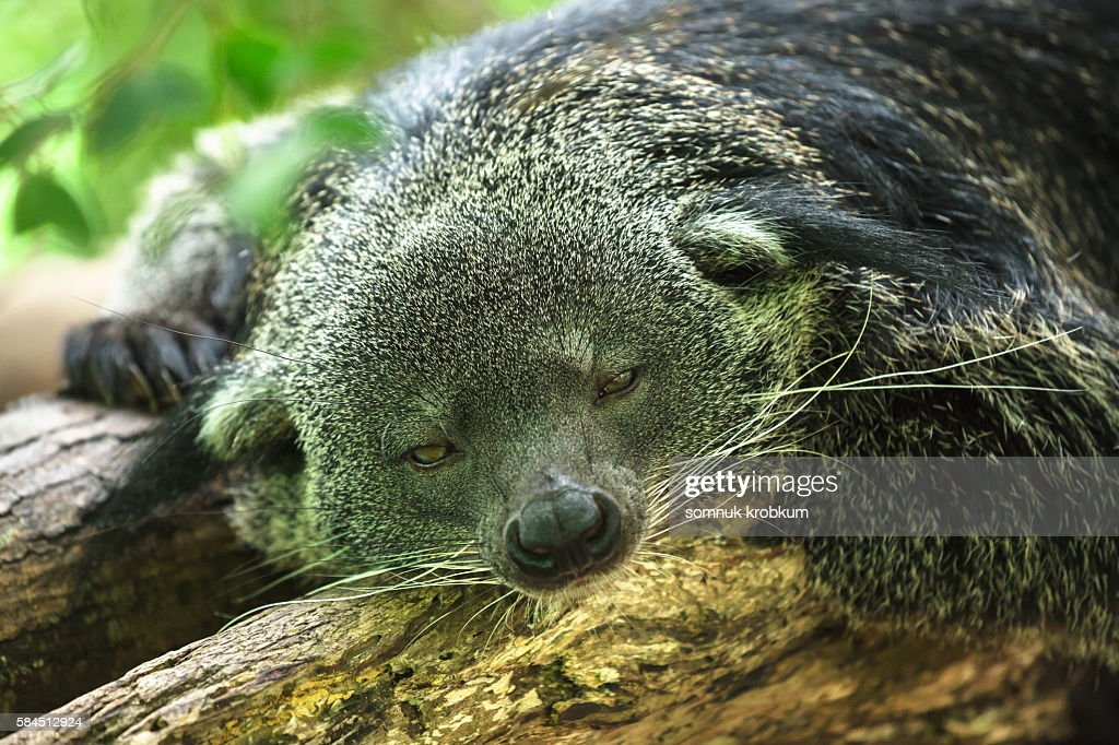Sleepy Bear cat. : Stock Photo