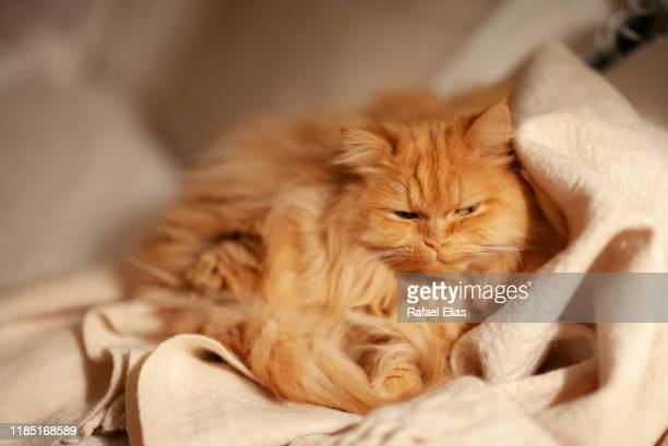 sleepy cat - persian cat stock pictures, royalty-free photos & images