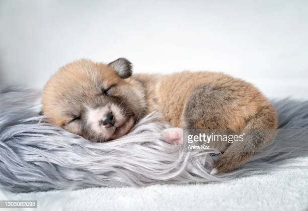 sleepy corgi puppy - puppies stock pictures, royalty-free photos & images