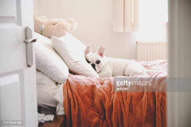 sleepy french bulldog on a cozy bed in a bedroom, seeing through bedroom door - pillow stock pictures, royalty-free photos & images