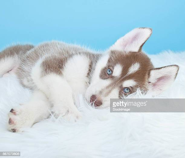 Sleepy husky puppy