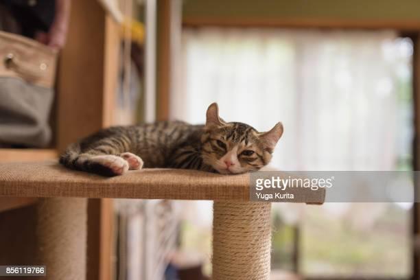 Sleepy Kitten (American Curl)