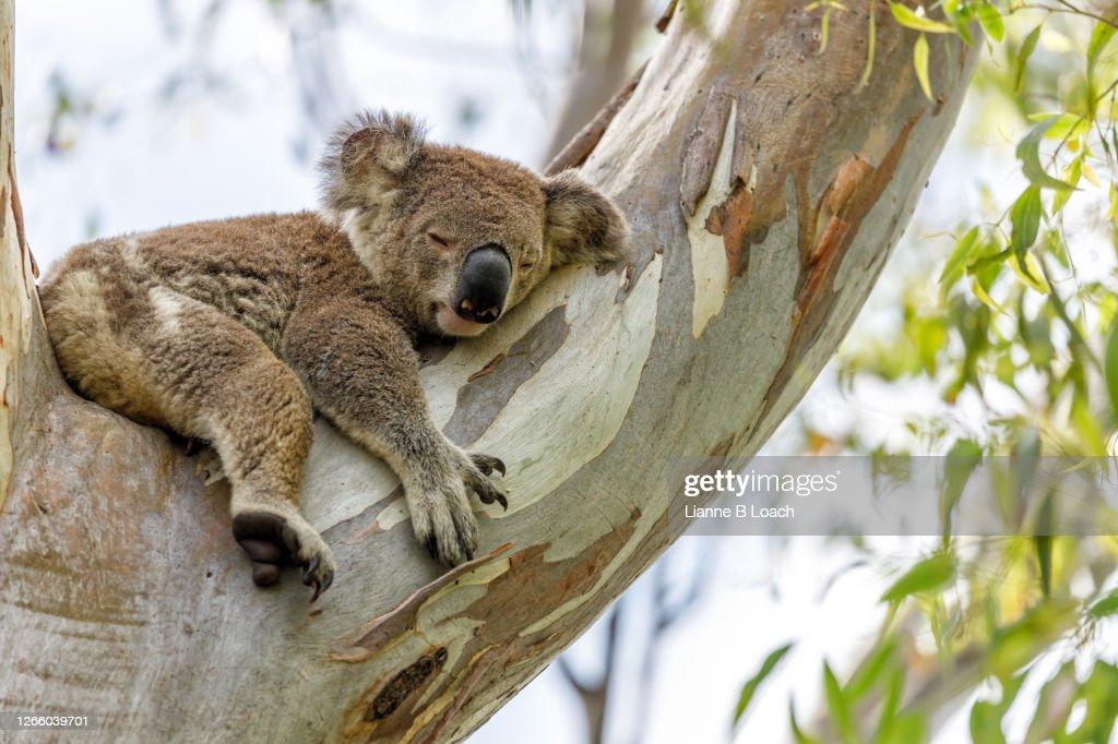 Sleepy koala in a eucalyptus tree on a sunny morning. : Stock Photo