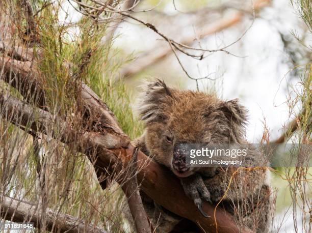 sleepy koala in a tree