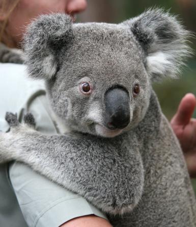Sleepy Koala 144875335